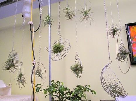 Атмосферные растения (тилландсия) MeAli0BE3H8