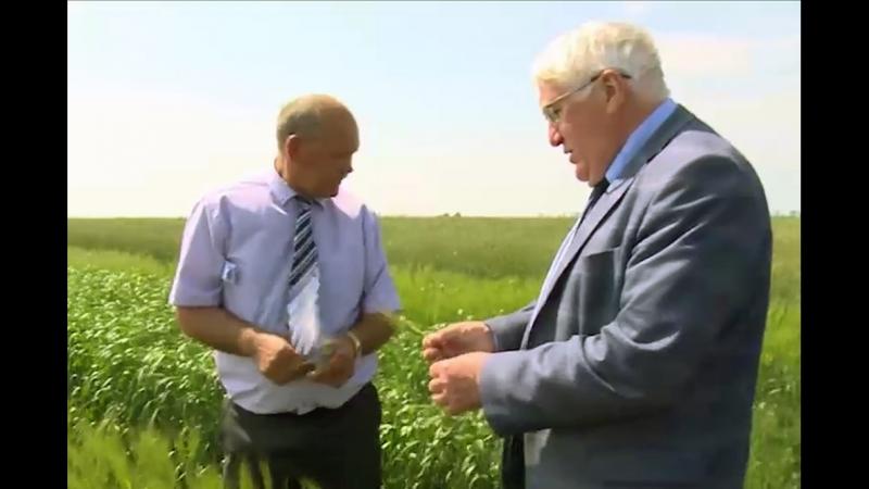 Уникальный сорт пшеницы вывели липецкие аграрии