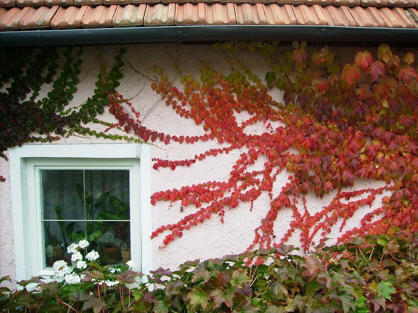 Осенний сад на даче-дикий виноград