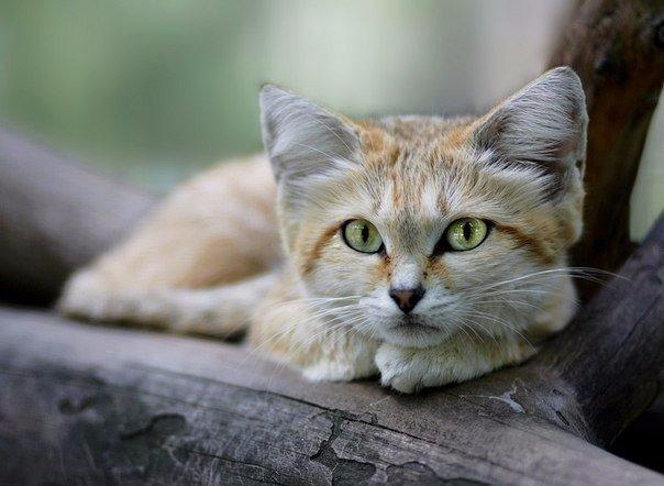Барханный кот, обитающий в пустынях Северного полушария, один из самых мелких представителей диких кошек