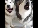 Хаски любит петь