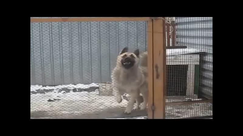 Джульбарс -Жулик танцует