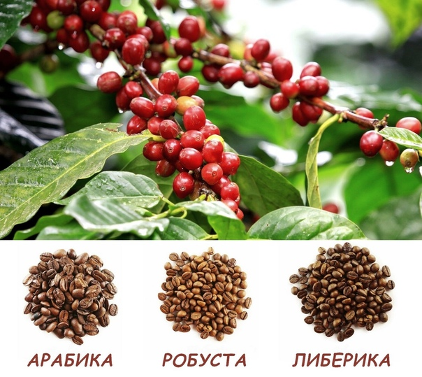 Кофе: арабика, робуста, либерика