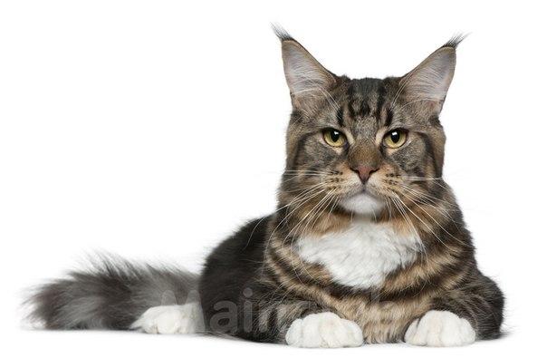 животное кошки