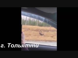 Тольятти  два лося на дороге гуляют