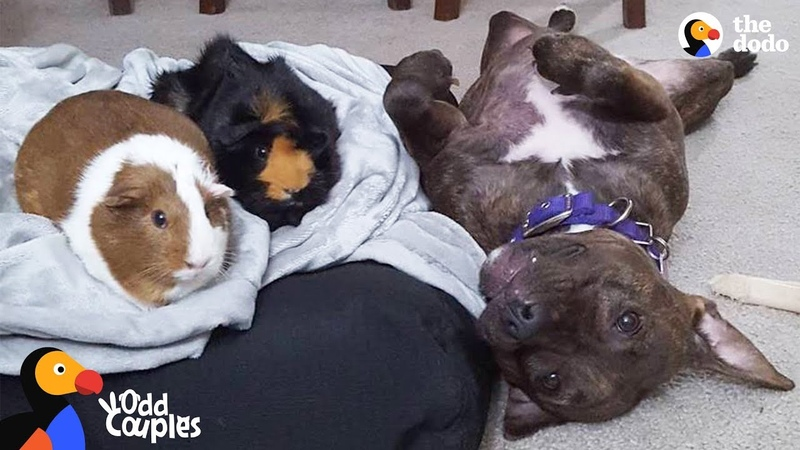 Pit Bull Dog Wins Over Her Guinea Pig Sisters | The Dodo Odd Couples