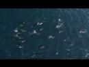 Только вперёд: дельфины бороздят волны, созданные китом