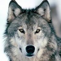 {Волки}___{Ролевая}