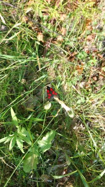 Встретил пестрянку, впервые в жизни. Такая странная бабочка, больше похожа на муху.