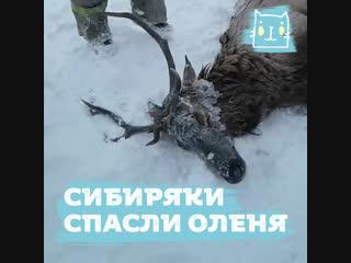 Спасение провалившегося под лед оленя