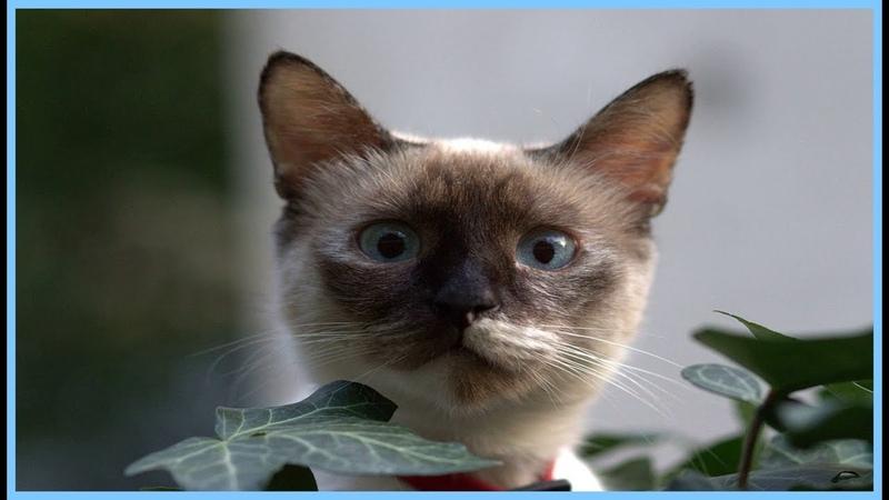 Породы кошек Бирманская