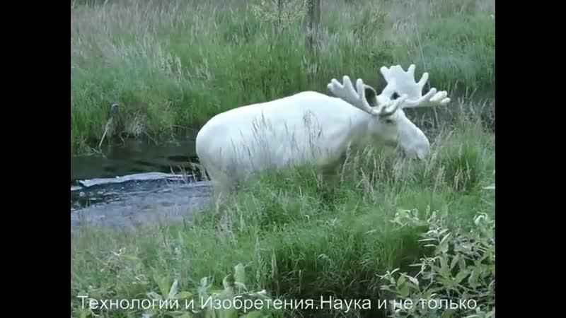 FUTURE. . Уникальное существо - белый олень. Они живут в лесах Вермланда между Швецией и Норвегией