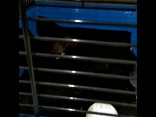 крысенок такой забавный мохнатик