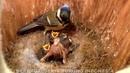 В гнезде больших синиц Parus major