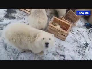 Нашествие белых медведей на Новой Земле (Архангельская область)