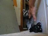 Sneaky Raccoon!