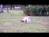Груня играет с мелкой собакой