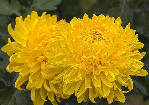 12 сентября - день осенних цветов бордовый, жёлтый, красный…осенние цветы по-своему прекрасны.в садах уже давно пестреют георгиныи бархатцы ручьёмвдоль узеньких тропинок…последние цветы согрели душу светомприродной доброты. благодарю за это.осенние
