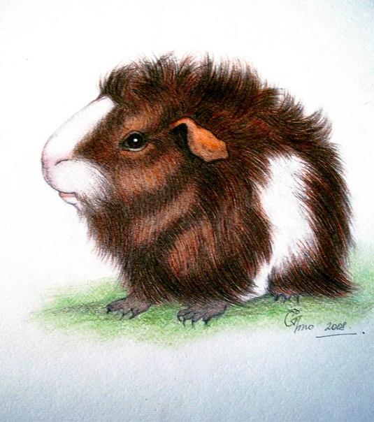 Морская свинка нарисованная