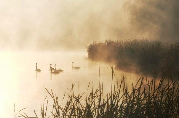 «Лебединое утро». Автор фото: Александр Дишливенко.