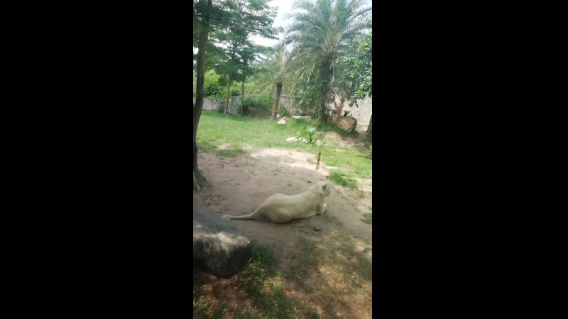 Лев и тигр альбиносы