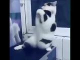 Танец живота в исполнении кота