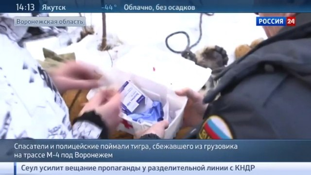 Новости на «Россия 24» • Сбежавшего тигра везли из Подмосковья в КЧР