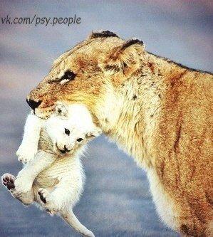 белый львёнок с мамой