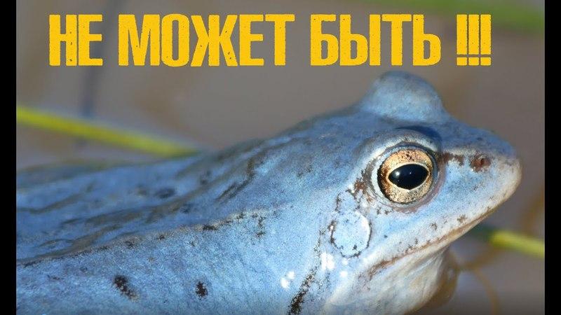 Экзотика в российском болоте. Голубые лягушки