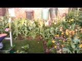 OPIUM POPPY PAPAVER SOMNIFERUM FIRST FLOWERS 2013