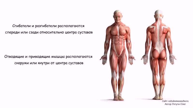 Мышечные группы, принципы расположения и связь с направлением движений