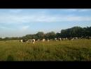 коровы мервино Рязань
