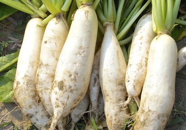 5 тонкостей выращивания дайкона