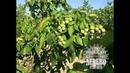 Семена и Саженцы грецкого ореха Иван Багряный, 0985674877, 0957351986, Walnuts Broker