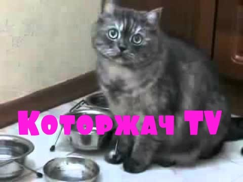 Голодный кот просит еду