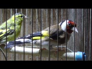 Птицы в комнате щегол и чижи