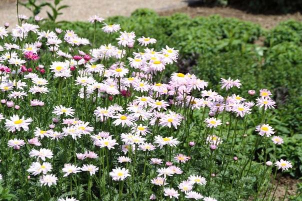 пиретрум пиретрум- это декоративное растение идеально подойдет для тех, у кого мало времени на уход за цветником. однажды посаженные кустики будут много лет при минимальном уходе украшать сад