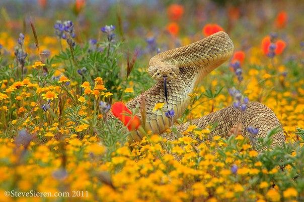 Steve Sieren #snake