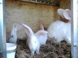 Клетки для содержания кроликов породы Бельгийский великан