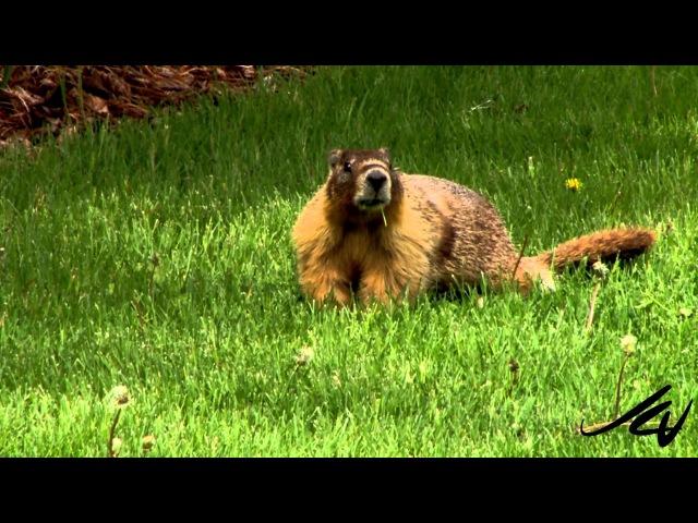Cурок | Groundhog - Marmota monax » Freewka.com - Смотреть онлайн в хорощем качестве