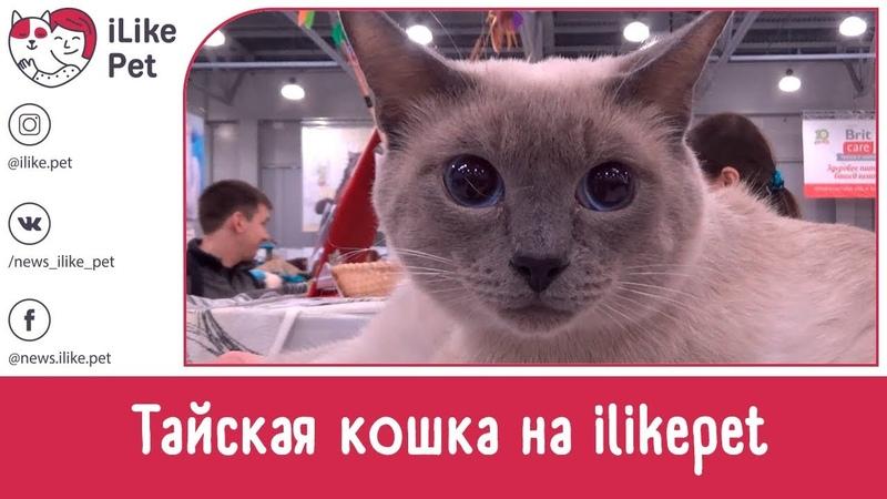 Тайская кошка Особенности Уход