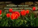 Тюльпаны. Как вырастить тюльпаны дома к 8 марта!