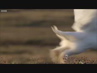 Детеныш траханского орла-сапожника атакует волка