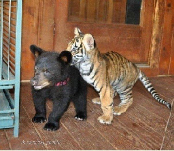 И такое бывает!) Тигр, Лев и Медведь выросли вместе.