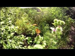 GoProClub: Schmetterlinge GoPro Hero 3 240fps butterflies