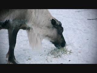 Леденцы с ягелем для северных оленей