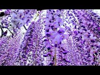 Волшебство цветения Глицинии SN