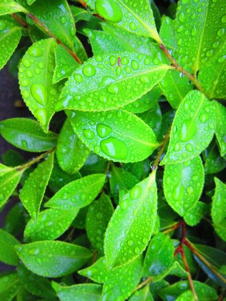 Мокрые листья, Япония