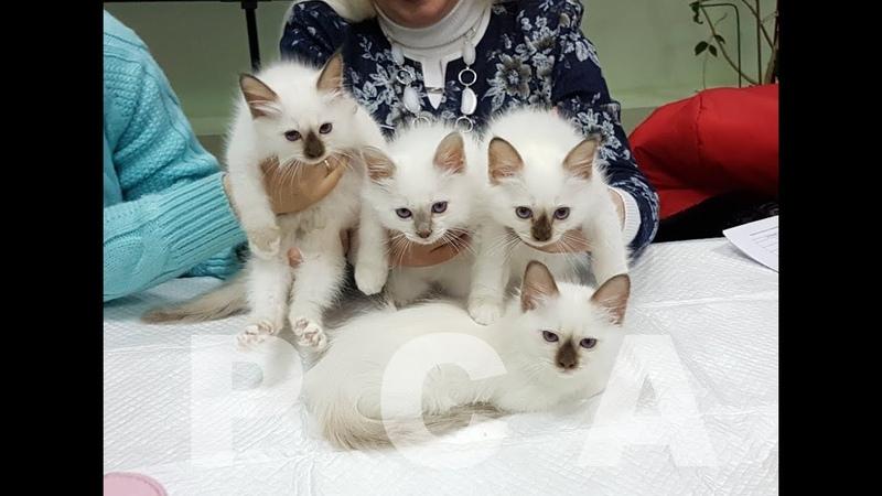 Презентация помета бирманских котят питомника кошек PCA БЕЛЫЕ ЛАПКИ
