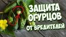 Вредители Огурцов 🥒 Уход за огурцом🥒Паутинный клещ и тля на огурцах